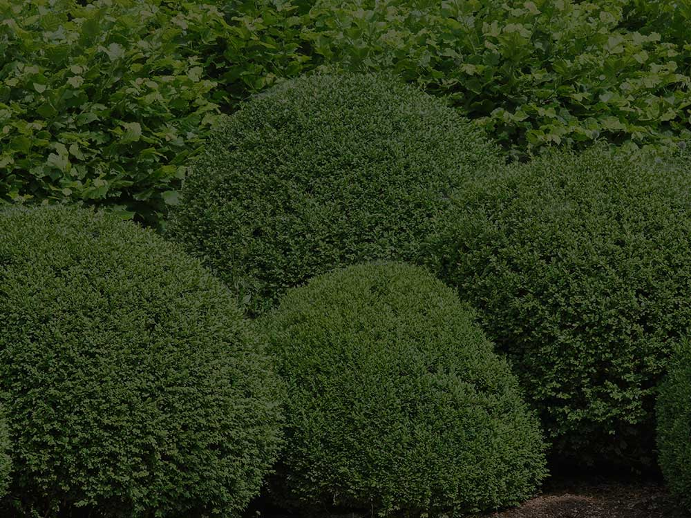 Manassas Shrubs and Hedges